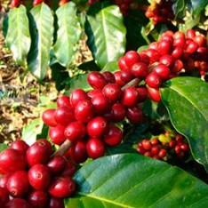cafe-organico-gourmet-o-supremo-grano-o-molido-arabiga-bfn-13328-MLM3321519374_102012-F copy