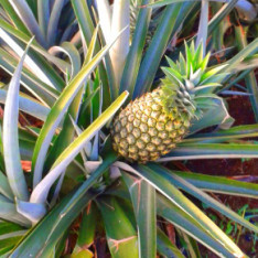 pineapples_03